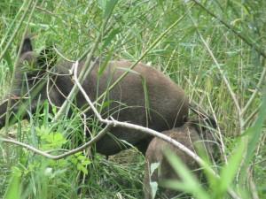 MBBi Wildschwein Tiere RR 011
